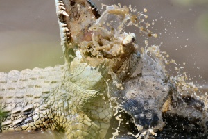 crocodile, reptile, river, water, animal