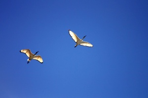 flight, birds, seagull, blue sky