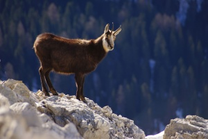 nature, rock, wildlife, animal, goat, mountain