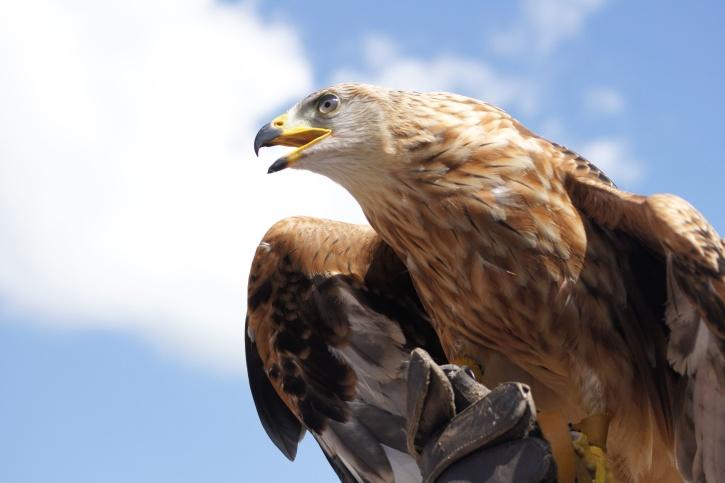 πουλί, αετός, φτέρωμα, άγρια ζωή, ράμφος, πουλί
