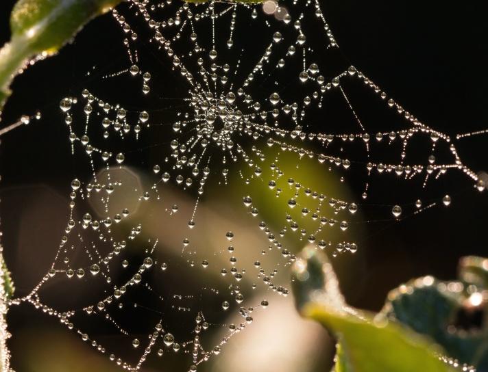 water drops, spider web, dew