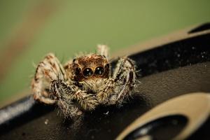паяк, животни, насекоми, безгръбначни
