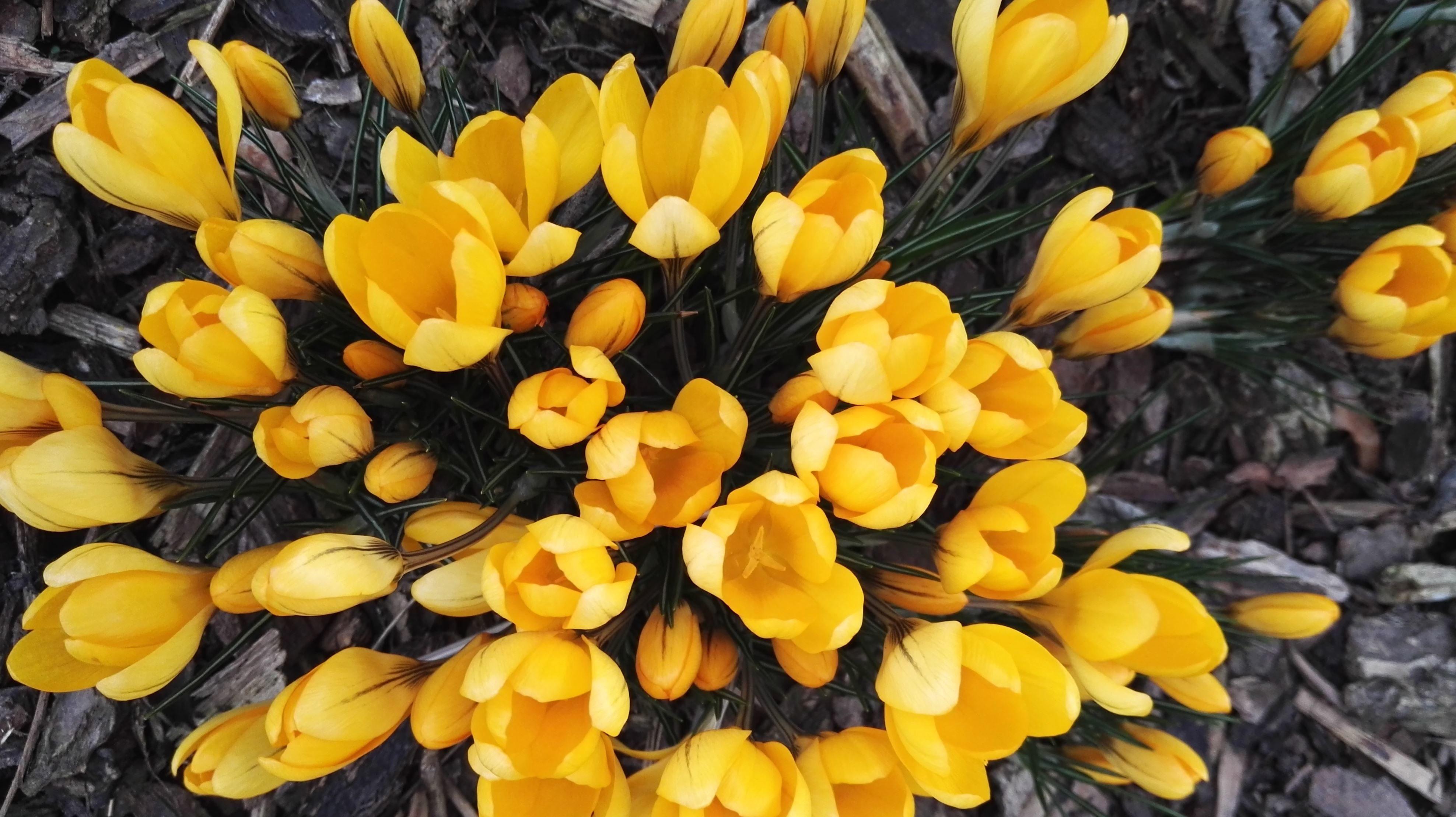 Free picture tulips yellow flowers beautiful bloom blooming tulips yellow flowers beautiful bloom blooming blossom botanic garden mightylinksfo