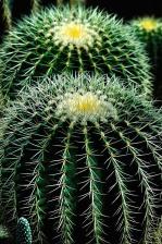 grön, kronblad, växt, Cactus, blomma