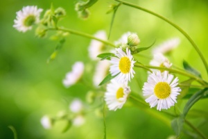 petals, plant, bloom, blossom, chamomile, flora, flowers