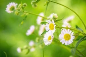 latice, biljka, cvijet, cvijet, kamilica, flore, cvijeće
