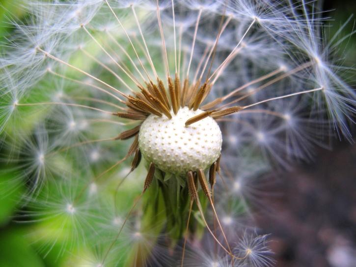 dandelion, plant, seed, summer, weed, garden, flower