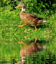reflection, lake, water, animal, bird, duck