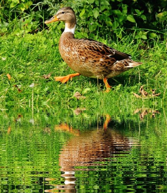 reflection, lake, water, animal, bird, duck