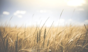 nature, rural, summer, sun, wheat, agriculture, cereal, countryside, crop, farm