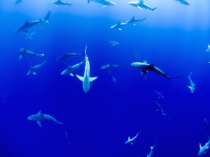 animal, underwater, fish, sea, sharks, water