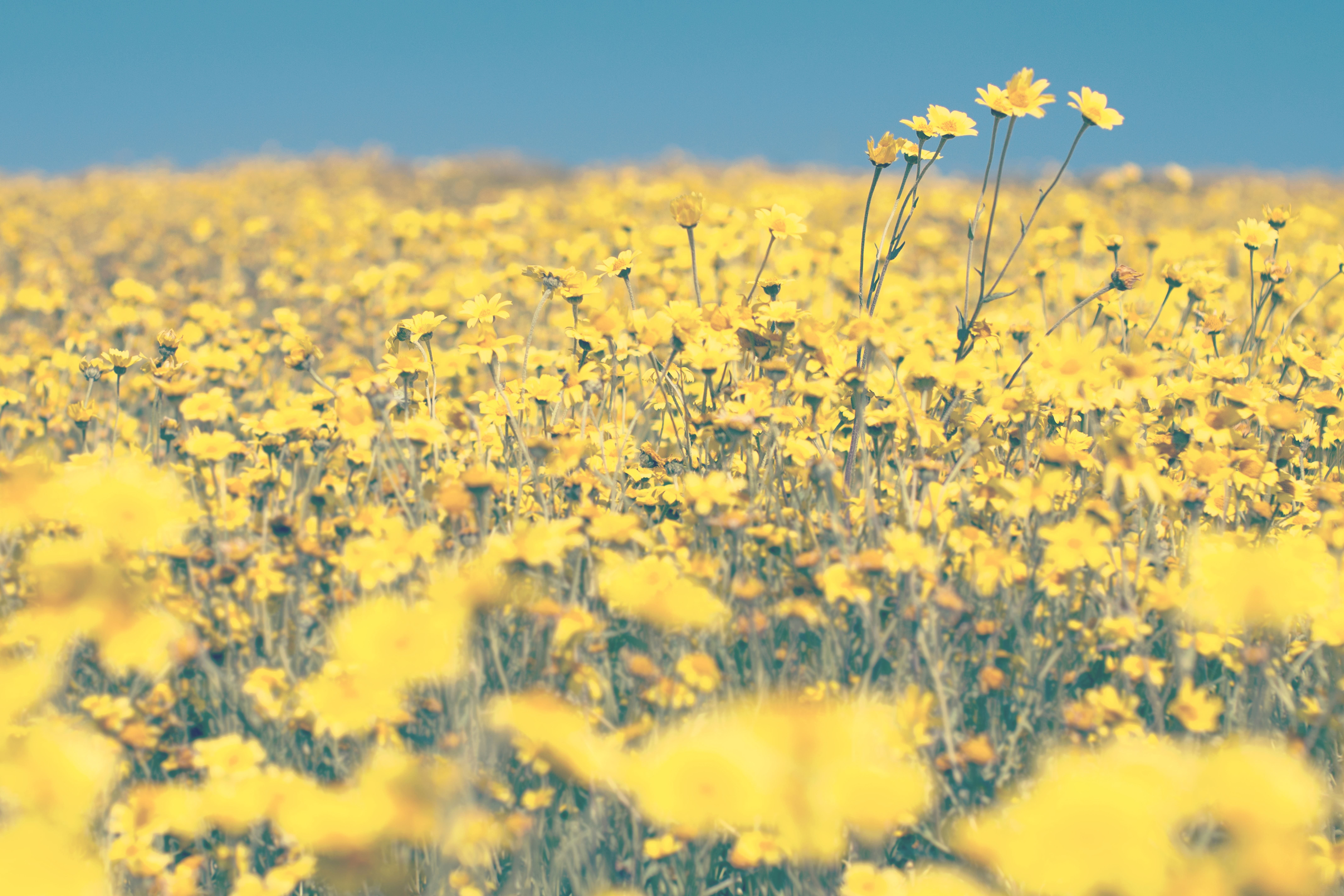 Free picture blooming blossom agriculture beautiful flowers yellow blooming blossom agriculture beautiful flowers yellow izmirmasajfo