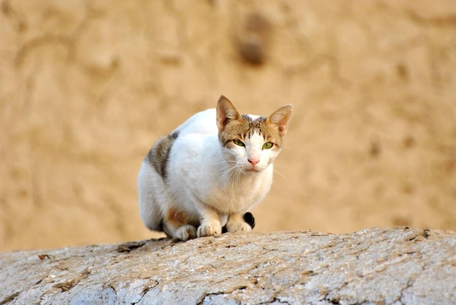 animal, feline, domestic cat, pet, kitten, rock