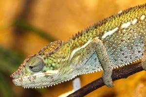 lizard, reptile, wildlife, animal, chameleon