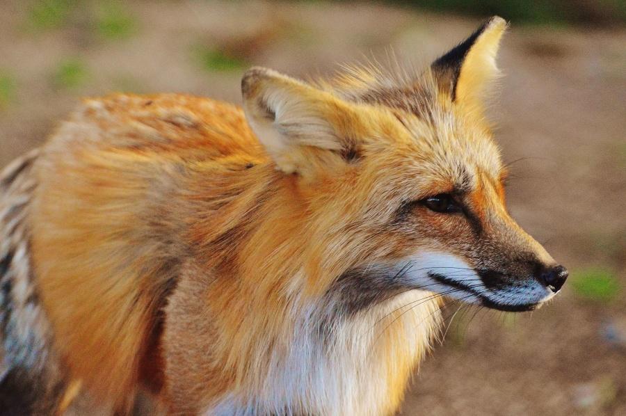fox, hairy, wild, animal