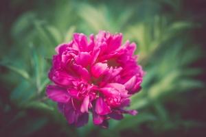 pivoine, fleur, macro, plante, fleur, fleur