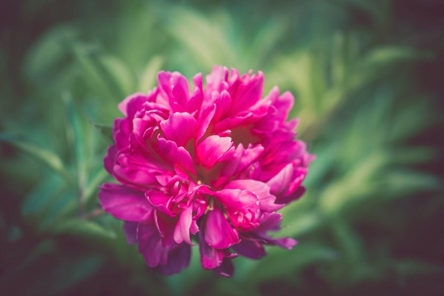 παιωνία, λουλούδι, μακροεντολή, φυτό, άνθιση, άνθος