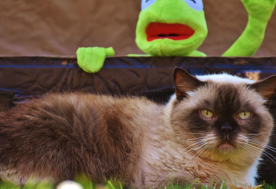 animal, cat, frog, toy, grass, pet