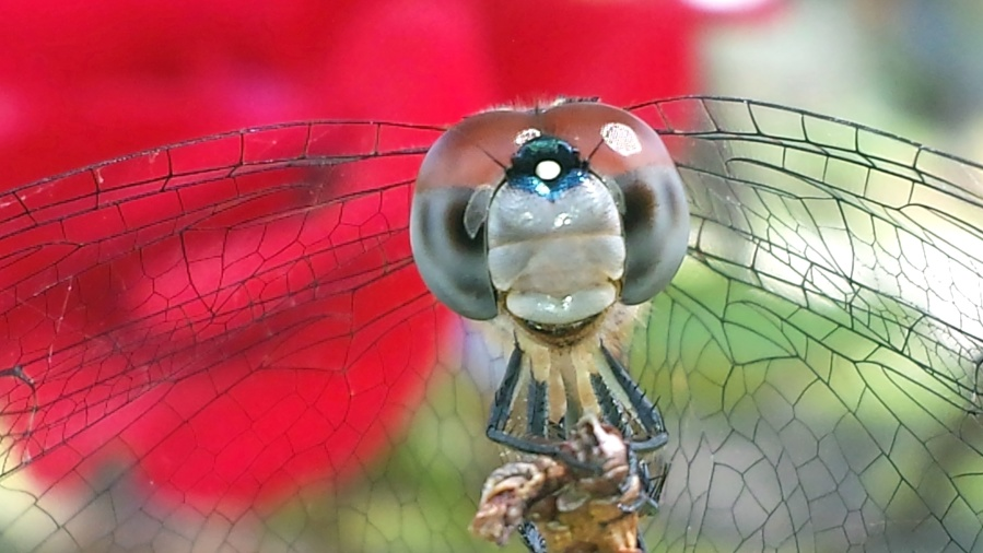 dragonfly, wings, insect, makro, nature