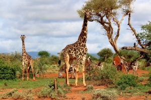 Africa, zebra, animals, giraffe, tree, sky