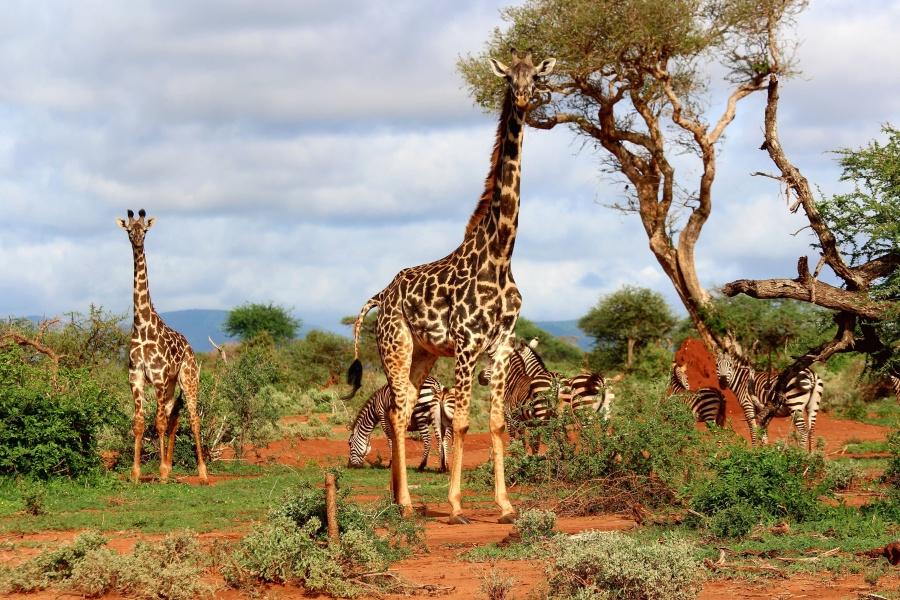 Africa, zebra, animals, giraffe, tree, sky