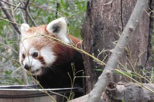 bear, cute, animal, fauna, red koala