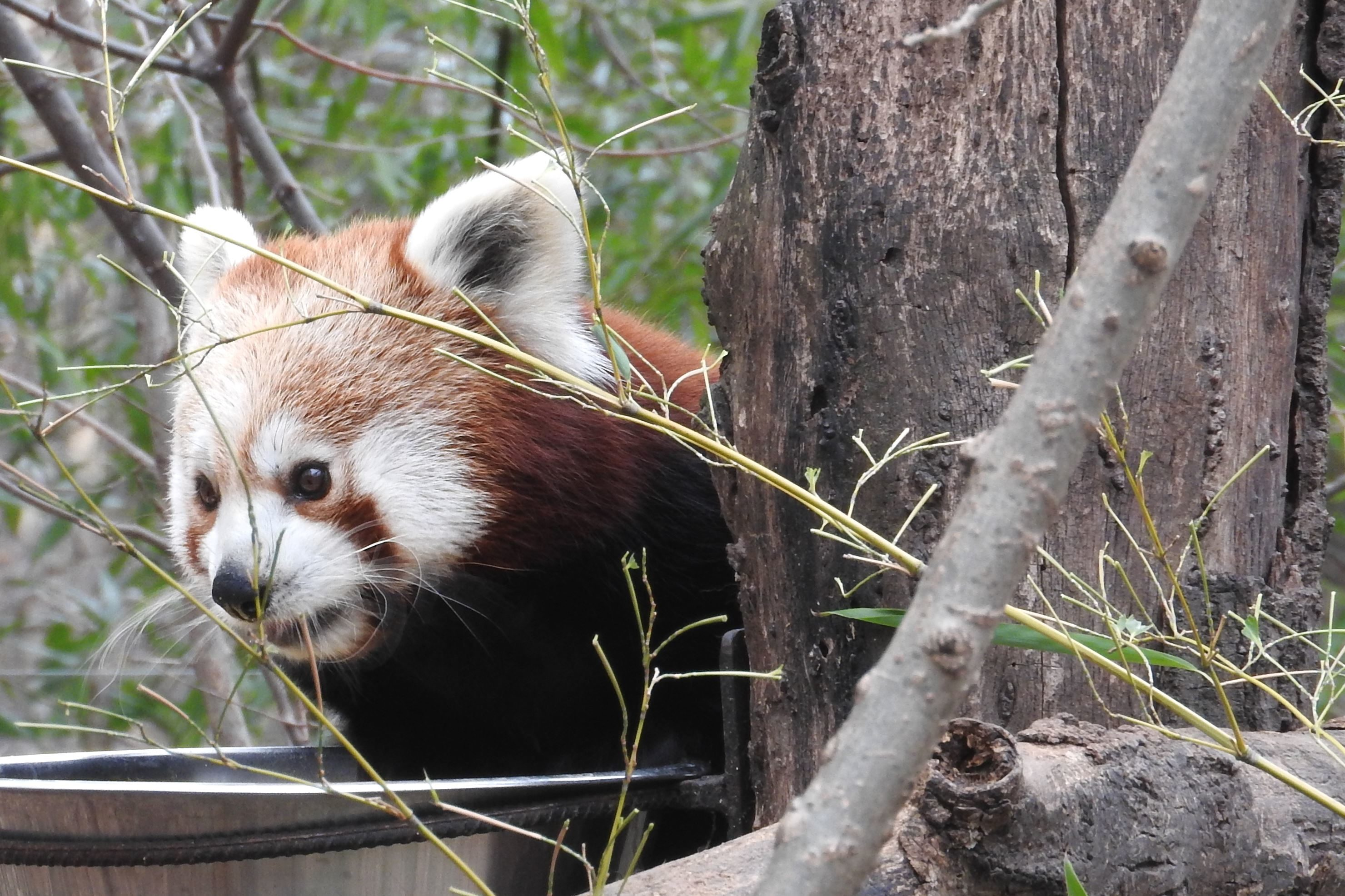 free picture  bear  cute  animal  fauna  red koala