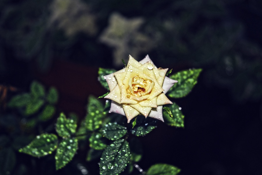 rose, green, dew, petals, flower
