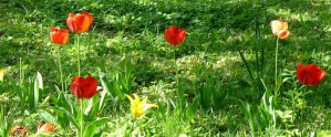 tulip, grass, nature, flowering, garden, spring time, blooming