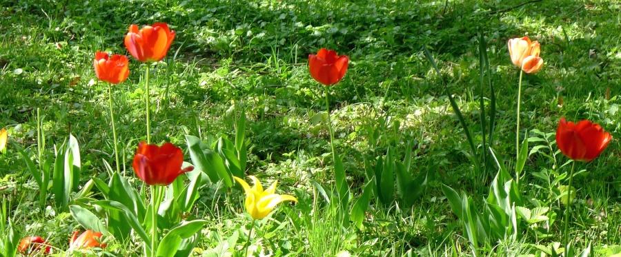 tulip, grass, nature, flowering, garden, spring time, blooming
