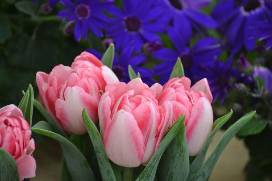 tulipani, vegetacije, latice, tučak, proljeće, roza, lala, cvijet, priroda