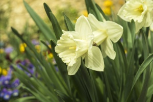 plant, flower petals, daffodil, leaves, narcissus, nature