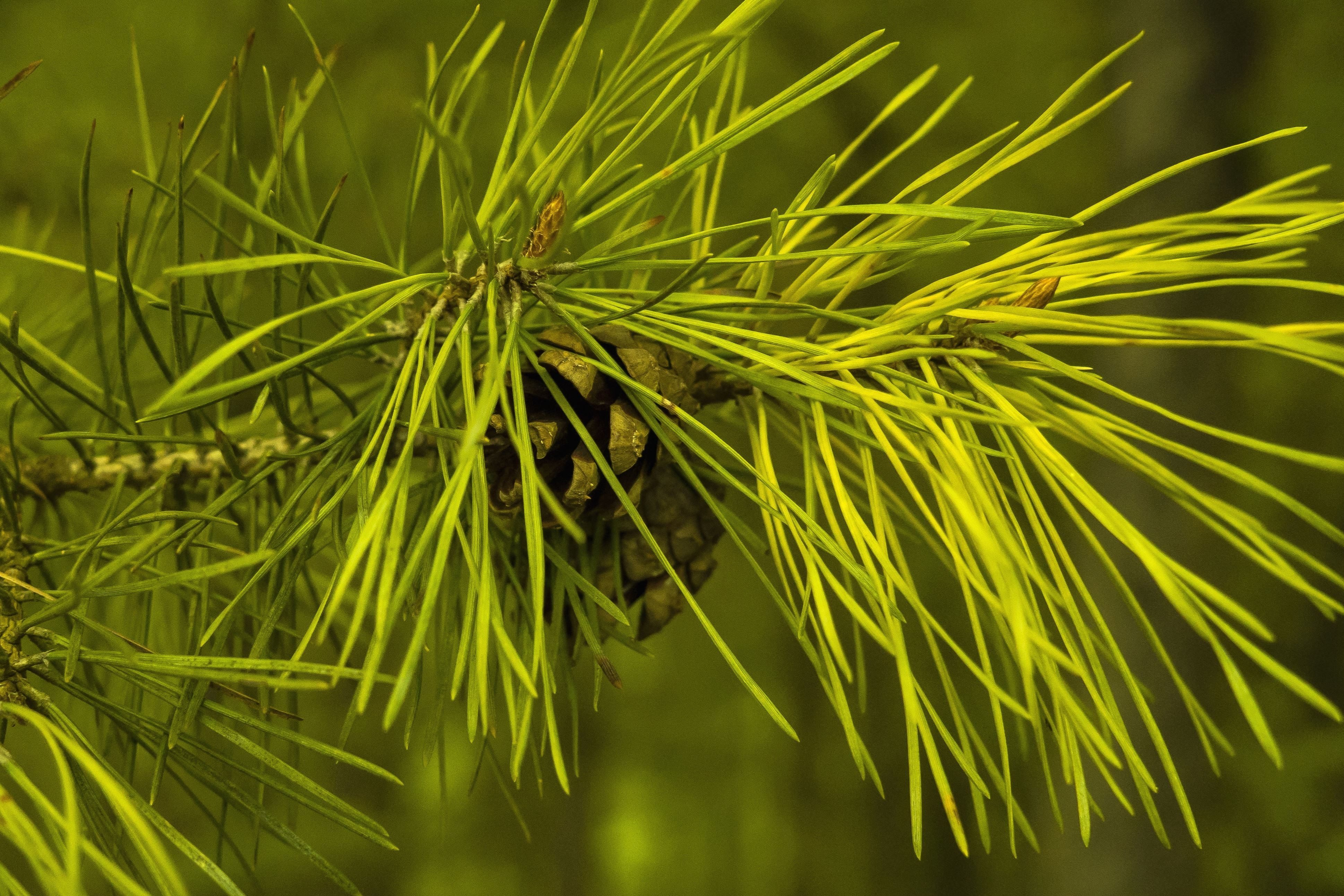 Herb Garden Free Picture Mountain Pine Tree Branch Green Leaves
