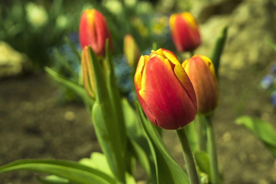 giardino, colorati, petali, primavera, natura, tulipani, foglie, fiori