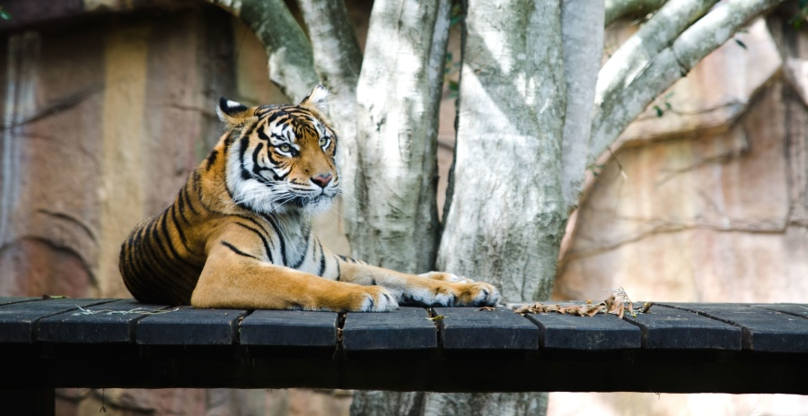 grote kat, dier, carnivoor, predator, strepen, tijger, predator