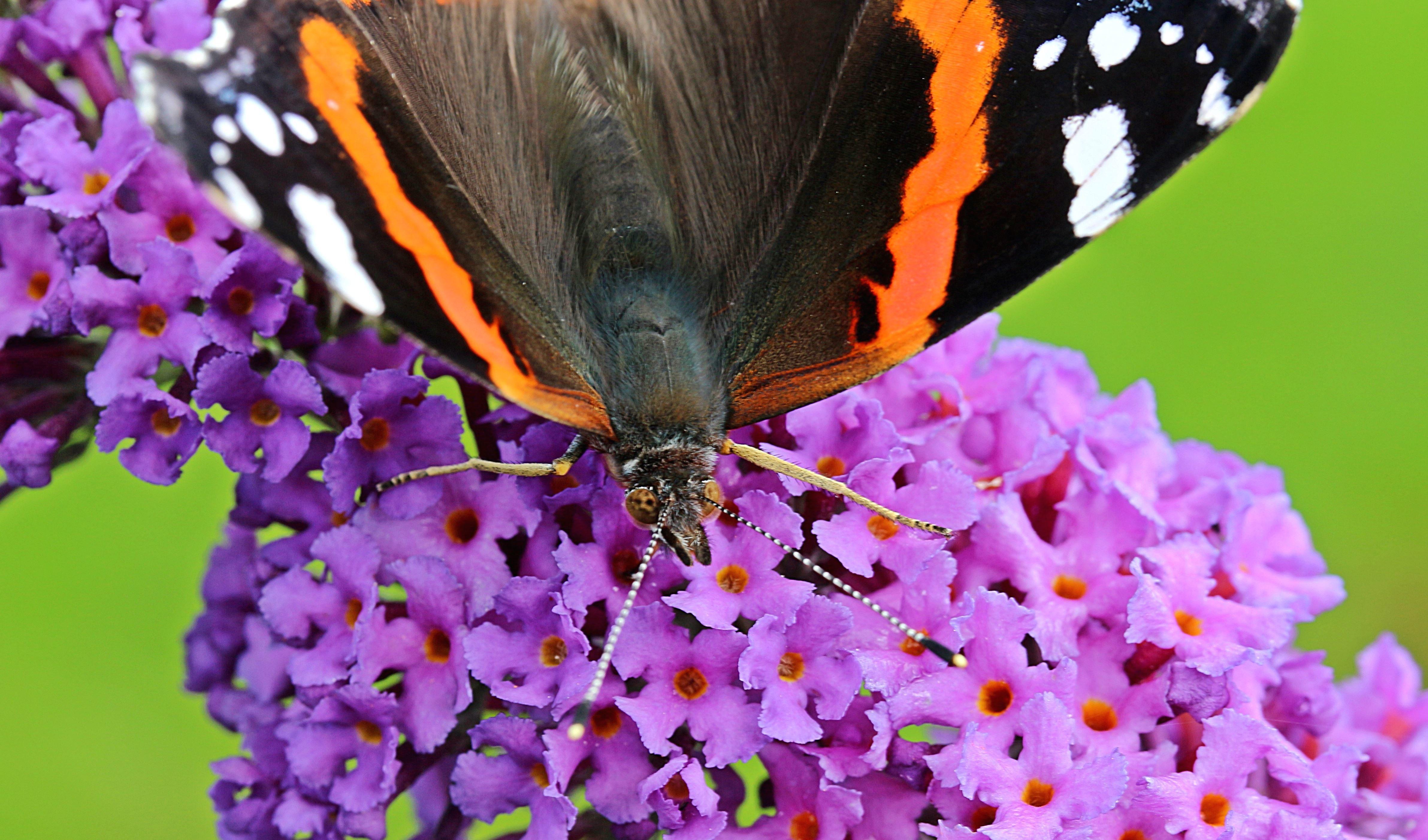 Image libre flore fleurs fleur fleur papillon insecte - Papillon fleur ...