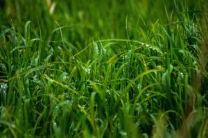 trawa, zielone, wzrost, trawnik, liść, naturalne, natura