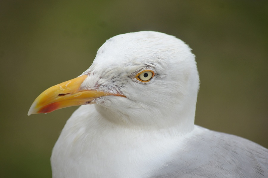 beak, bird, feathers, seagull, head, eyes