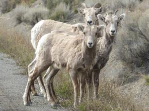 RAM, ovejas, animales, manada, hierba