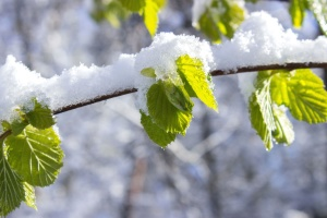 frost, leaves, nature, snow, branch