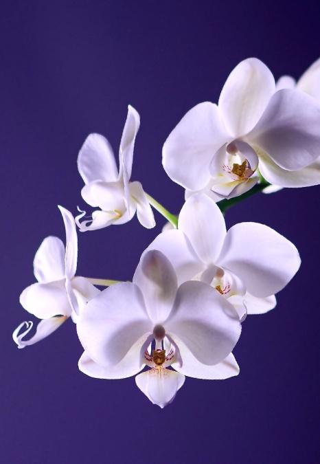 вишні, орхідеї, завод, білий, цвітіння