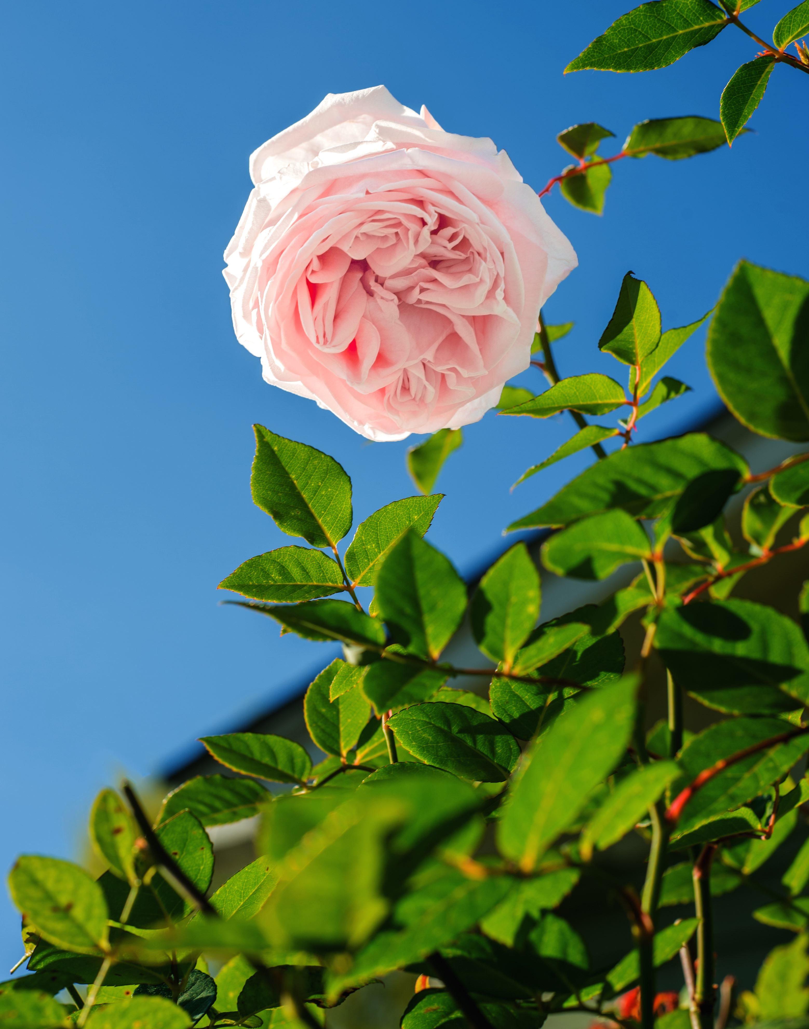 image libre flore fleurs feuilles plante fleur fleur rose. Black Bedroom Furniture Sets. Home Design Ideas