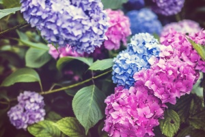 bloom, flora, flowers, hydrangea, leaves, petals, plants, blossom