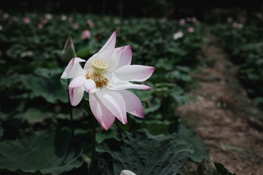 Divoká růže, květiny, příroda, okvětní lístky, rostlin, bloom