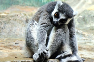 lemur, wildlife, photography, animal, fur