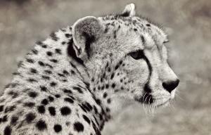 gatto, carnivoro, predatore, ghepardo, animale