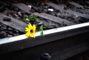 still life, railroad, yellow, flower, blooming, blossom, color, flora