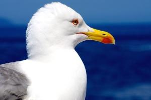 Seagull, vatten, djur, fågel, himlen, havet