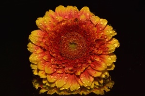 Fotostudio, Tau, Flora, Blumen, Wasser, Tropfen