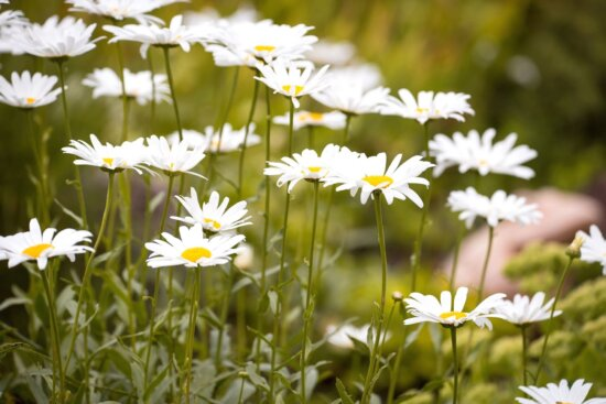 daisies, flowers, grass, nature, plant, bloom, blossom, flora